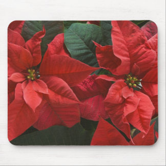 USA, WA, Red Poinsettia Detail (Euphorbia Mouse Pads