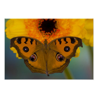 USA, WA, Sammamish, Tropical Butterfy 2 Poster