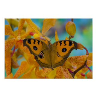 USA, WA, Sammamish, Tropical Butterfy 3 Poster