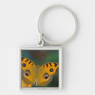 USA, WA, Sammamish, Tropical Butterfy Keychain