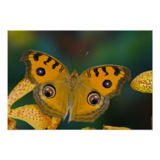 USA, WA, Sammamish, Tropical Butterfy Poster