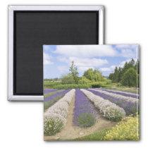 USA, WA, Sequim, Purple Haze Lavender Farm Magnet