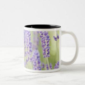 USA, WA, Squim, Lavendar (Selective Focus) Two-Tone Coffee Mug