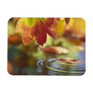 USA, Washington, Bellingham, Close-up of autumn Magnets