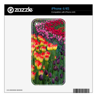 USA, Washington. Blooming Tulips 2 Decals For iPhone 4S