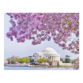 USA, Washington DC, Cherry tree in bloom Postcard