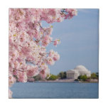 "USA, Washington DC, Cherry tree Tile<br><div class=""desc"">USA,  Washington DC,  Cherry tree in blossom with Jefferson Memorial in background</div>"