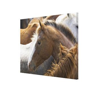 USA, Washington, Malaga, Horse head profile in Canvas Print