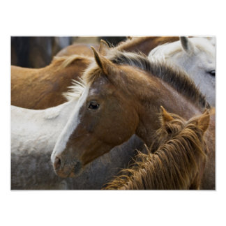 USA, Washington, Malaga, Horse head profile in Poster