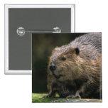 USA, Washington, Northwest Trek. Beaver 2 Inch Square Button