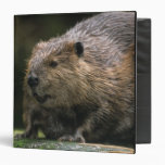 USA, Washington, Northwest Trek. Beaver Binder