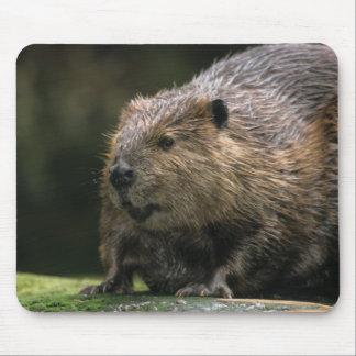 USA, Washington, Northwest Trek. Beaver Mouse Pad