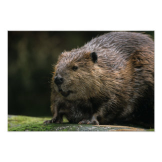 USA, Washington, Northwest Trek. Beaver Poster