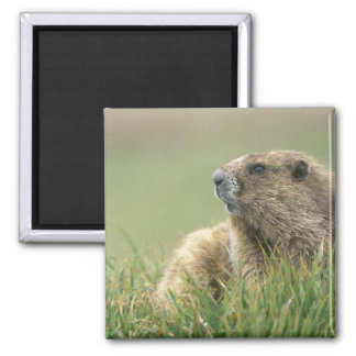 USA, Washington, Olympic NP, Olympic Marmot Magnet