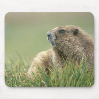 USA, Washington, Olympic NP, Olympic Marmot Mouse Pad