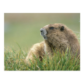 USA, Washington, Olympic NP, Olympic Marmot Postcard