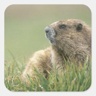 USA, Washington, Olympic NP, Olympic Marmot Square Sticker