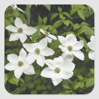 USA, Washington, Pacific Dogwood, Cornus Square Sticker