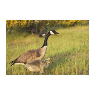 USA, Washington, Seattle. Canada Goose Canvas Print