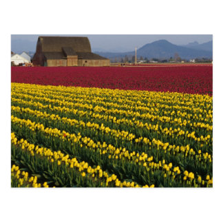 USA, Washington, Skagit Valley. Tulip fields 2 Postcard