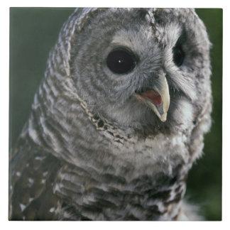 USA, Washington State. Barred Owl (Strix varia) Tile