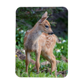 USA, Washington State. Blacktail Deer Fawn Magnet