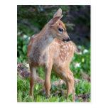 USA, Washington State. Blacktail Deer Fawn Postcard