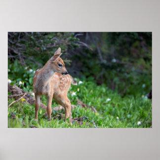 USA, Washington State. Blacktail Deer Fawn Poster