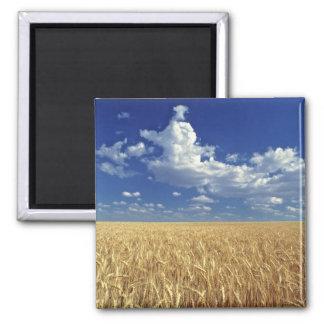 USA, Washington State, Colfax. Ripe wheat Magnet