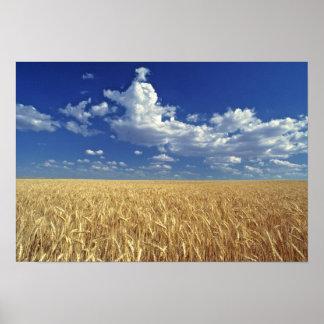 USA, Washington State, Colfax. Ripe wheat Poster