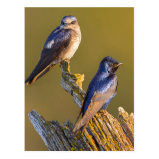 USA, Washington State. Female And Male Purple Postcard