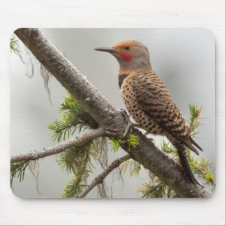 USA, Washington State. Male Northern Flicker 2 Mouse Pad