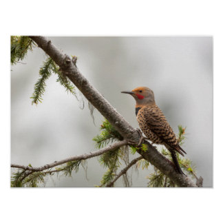 USA, Washington State. Male Northern Flicker 2 Poster