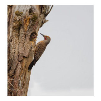 USA, Washington State. Male Northern Flicker Poster