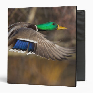 USA, Washington State, Mallard, male, flight. Binder