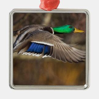 USA, Washington State, Mallard, male, flight. Christmas Tree Ornaments