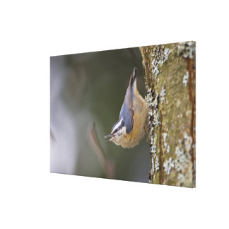 USA, Washington State, Red-brested Nuthatch, Canvas Print