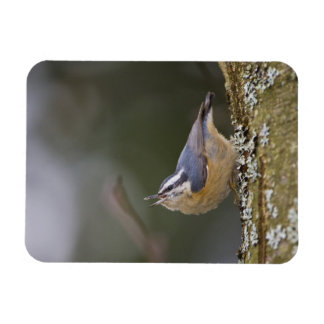 USA, Washington State, Red-brested Nuthatch, Magnet