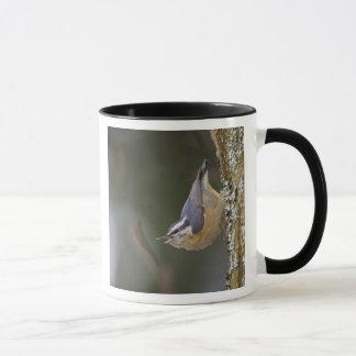 USA, Washington State, Red-brested Nuthatch, Mug