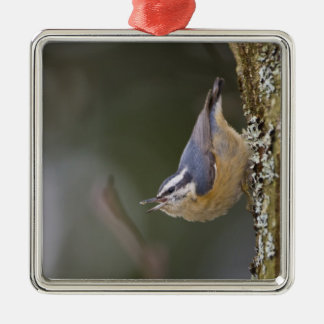 USA, Washington State, Red-brested Nuthatch, Christmas Tree Ornament