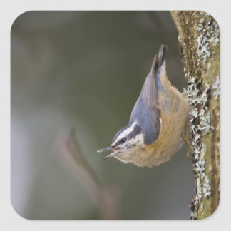 USA, Washington State, Red-brested Nuthatch, Square Sticker