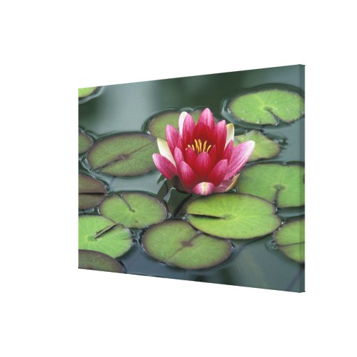 USA, Washington State, Seattle. Water lily and Gallery Wrapped Canvas