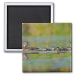 USA, Washington State, Wood Duck,female, 2 Inch Square Magnet
