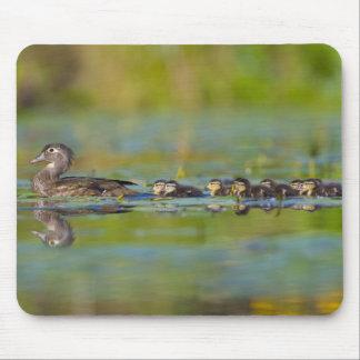USA, Washington State, Wood Duck,female, Mouse Pad