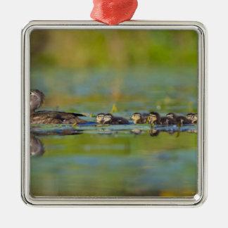 USA, Washington State, Wood Duck,female, Christmas Tree Ornaments