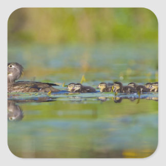 USA, Washington State, Wood Duck,female, Square Sticker
