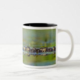 USA, Washington State, Wood Duck,female, Two-Tone Coffee Mug