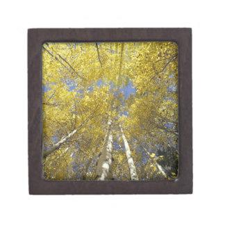 USA, Washington, Stevens Pass Fall-colored aspen Keepsake Box