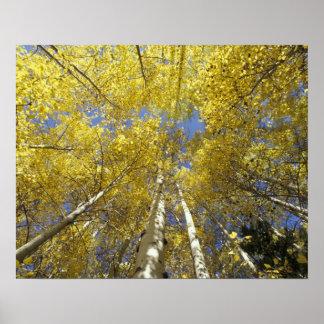 USA, Washington, Stevens Pass Fall-colored aspen Poster