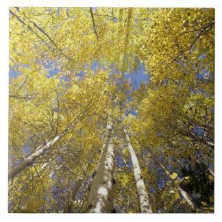 USA, Washington, Stevens Pass Fall-colored aspen Tile
